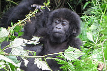 baby gorilla in the wild